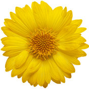 gaillardia_heat_it_up_yellow_01.jpg