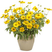 gaillardia_heat_it_up_yellow.jpg