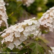 Gatsby Gal® - Oakleaf hydrangea - Hydrangea quercifolia