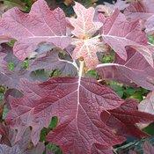 gatsby_pink_hydrangea_quercifolia_fall_color.jpg