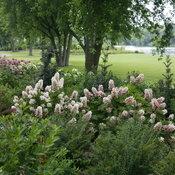 gatsby_pink_hydrangea_quercifolia_landscape.jpg