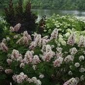 gatsby_pink_hydrangea_quercifolia_shrub.jpg