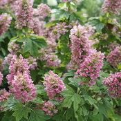 gatsby_pink_oakleaf_hydrangea_blooms.jpg