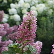 gatsby_pink_oakleaf_hydrangea_flower.jpg