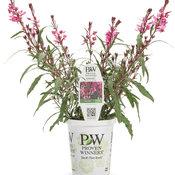Karalee® Petite Pink - Wand Flower - Gaura