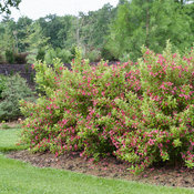 ghost_weigela-6792.jpg