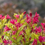 ghost_weigela-8441.jpg