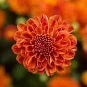 Gigi Orange Garden Mum - Chrysanthemum grandiflorum