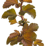 ginger_wine_physocarpus_01.jpg