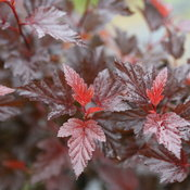 ginger_winetm_physocarpus_img_6469.jpg