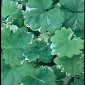 Variegata - Creeping Charlie - Glechoma hederacea