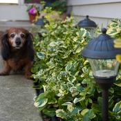 Gold Splash euonymus with dachshund