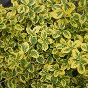 Gold Splash Euonymus
