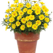 Golden Butterfly™ - Marguerite Daisy - Argyranthemum