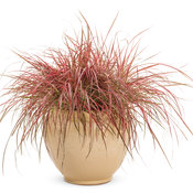 Graceful Grasses® 'Fireworks' - Variegated Red Fountain Grass - Pennisetum setaceum