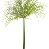 graceful_grasses_prince_tut_cyperus_04.jpg