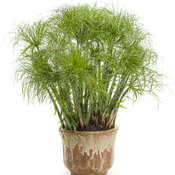 graceful_grasses_prince_tut_cyperus.jpg