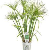 Graceful Grasses® Prince Tut™