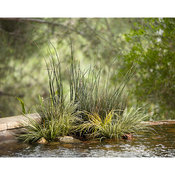 Grasses in pond 01.jpg