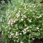 happy_face_pink_paradise_potentilla-3.jpg