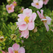 happy_face_pink_paradise_potentilla-4.jpg