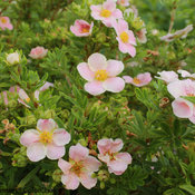 happy_face_pink_paradise_potentilla-5.jpg