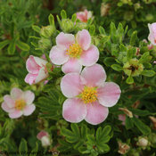 happy_face_pink_paradise_potentilla-6.jpg