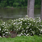 happy_face_white_potentilla-0710.jpg