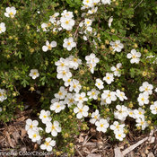 happy_face_white_potentilla-2.jpg