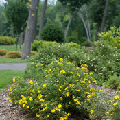 happy_face_yellow_potentilla-2298.jpg