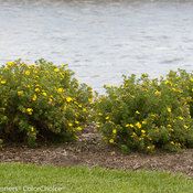 happy_face_yellow_potentilla_2_landscape.jpg