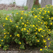 happy_face_yellow_potentilla_landscape.jpg