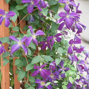 happy_jack_purple_clematis-2.jpg