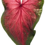 heart_to_heart_hearts_delight_macro-02.jpg