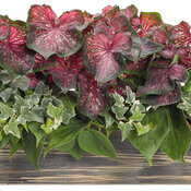 heart_to_heart_planter_1_scarlet_flame_pathos_ivy_01.jpg