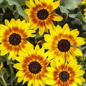 Suncredible® Saturn™ - Sunflower - Helianthus hybrid