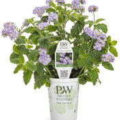 heliotropium_augusta_lavender_grande.jpg