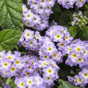 heliotropium_augusta_lavender_tag.jpg