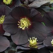 Honeymoon® New York Night - Lenten Rose - Helleborus hybrid