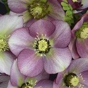 Honeymoon® Paris in Pink - Lenten Rose - Helleborus hybrid