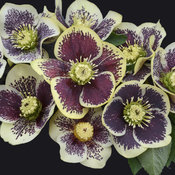 Honeymoon® Rio Carnival - Lenten Rose - Helleborus hybrid