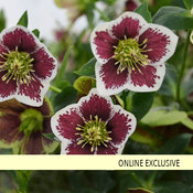 Honeymoon® Romantic Getaway - Lenten Rose - Helleborus hybrid