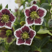 Honeymoon® Romantic Getaway - Lenten Rose - Helleborus hybrid