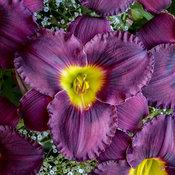 Rainbow Rhythm® 'Nosferatu' - Daylily - Hemerocallis hybrid