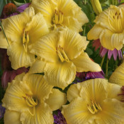 hemerocallis_going_bananas2011.jpg