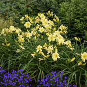 hemerocallis_going_bananas_apj19_12.jpg