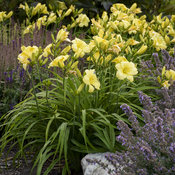 hemerocallis_going_bananas_apj19_17.jpg