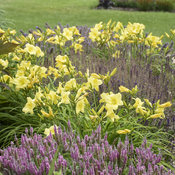 hemerocallis_going_bananas_apj19_22.jpg