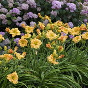 hemerocallis_orange_smoothie_apj19_11.jpg