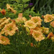 hemerocallis_orange_smoothie_apj19_23.jpg